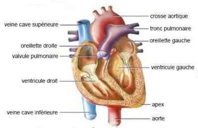 Système cardio-vasculaire