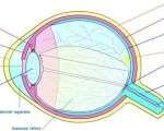 Oeil - Anatomie