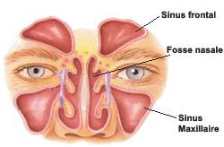 Fosses nasales - Sinus