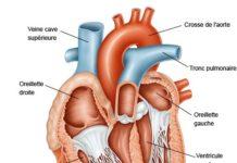 Anatomie de l'appareil cardiaque