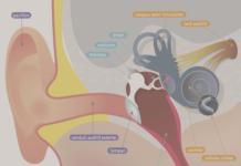 Anatomie de l'oreille interne (Suite)