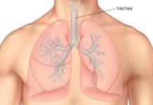 Anatomie et physiologie de la trachée