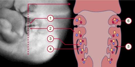 Arcs branchiaux : aspects normaux et pathologiques