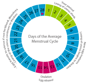 Cycle menstruel