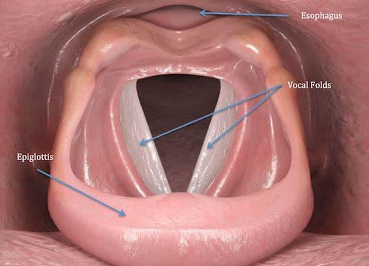 Anatomie descriptive, endoscopique et radiologique du larynx (Suite)