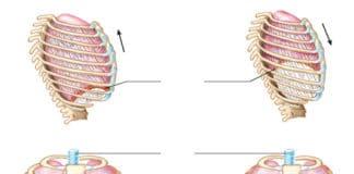 Exploration de la fonction du diaphragme