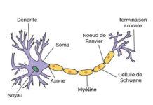 Lipides du nerf périphérique