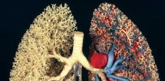 Morphologie et morphométrie du poumon humain (Suite)