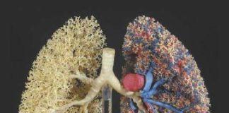 Morphologie et morphométrie du poumon humain