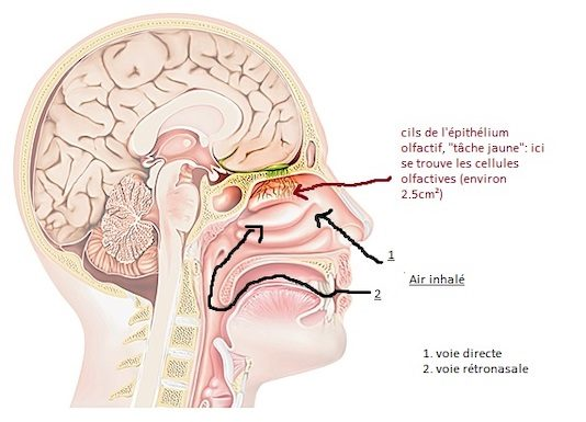 Explorations physiques et fonctionnelles des fosses nasales