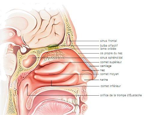 Infections naso-sinusiennes aiguës de l'adulte