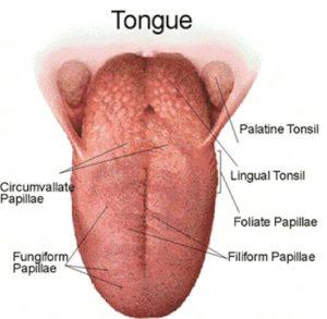 Physiologie de la gustation