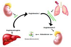 Physiologie et méthodes d'exploration du système rénine-angiotensine-aldostérone