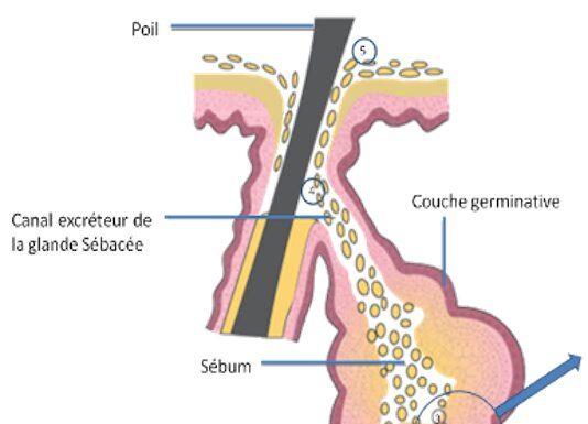 Physiologie de la sécrétion sébacée