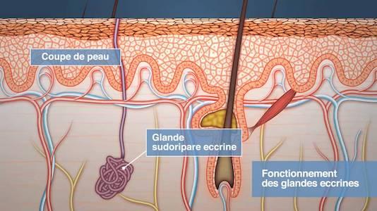 Physiologie de la sécrétion sudorale eccrine